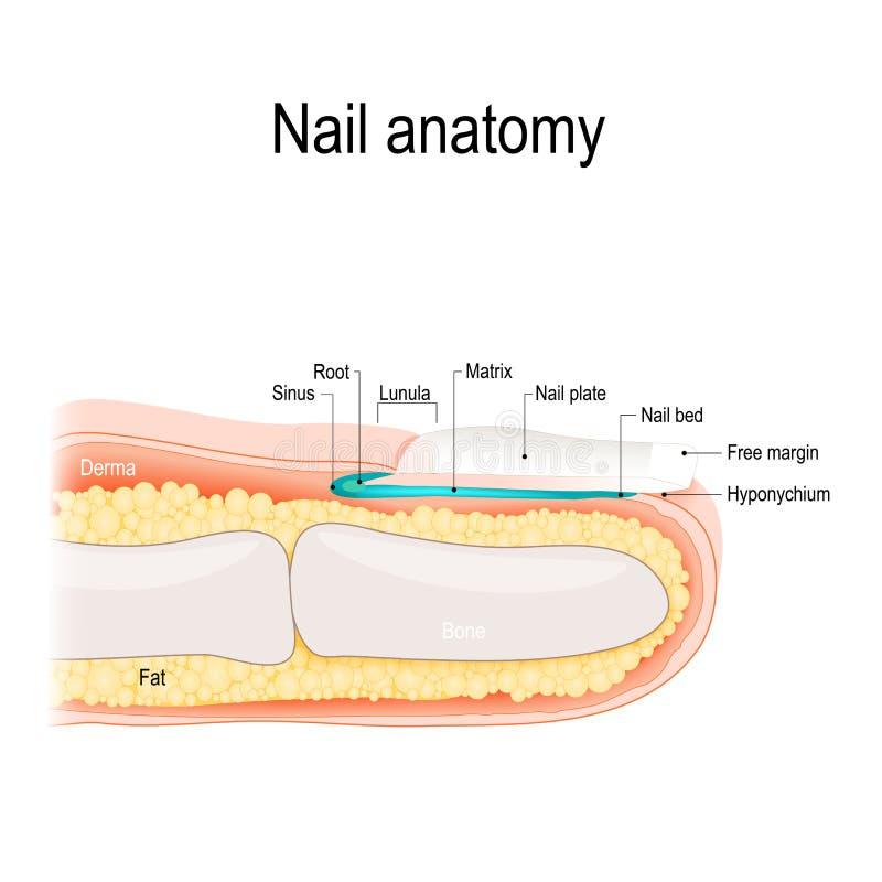 Anatomie de clou Illustration détaillée de vecteur illustration libre de droits