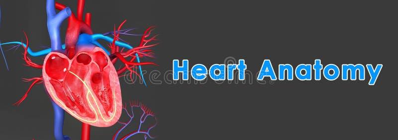 Download Anatomie de coeur illustration stock. Illustration du tableau - 45367285
