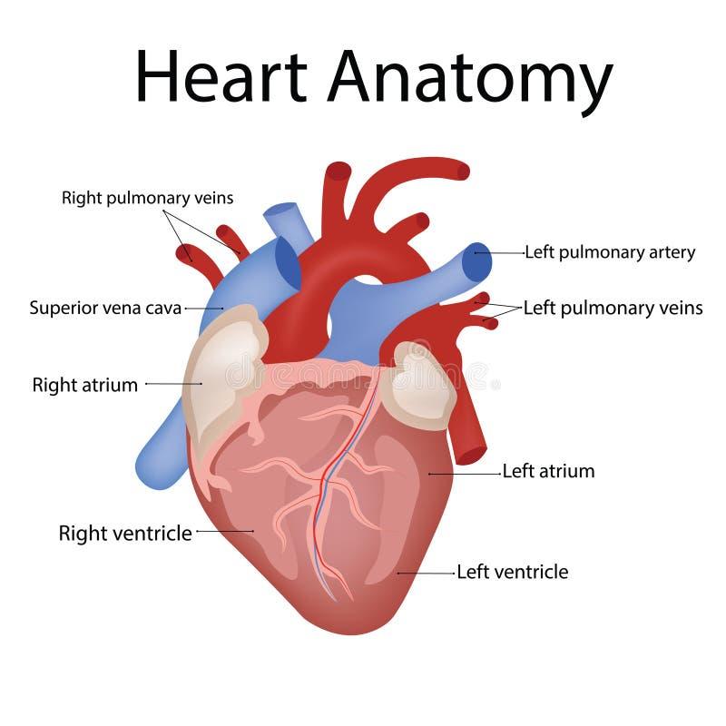 Anatomie de coeur et types d'illustration de vecteur de maladies de coeur illustration libre de droits