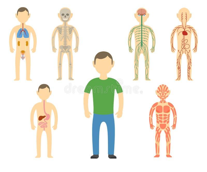Anatomie de corps d'homme de bande dessinée illustration de vecteur