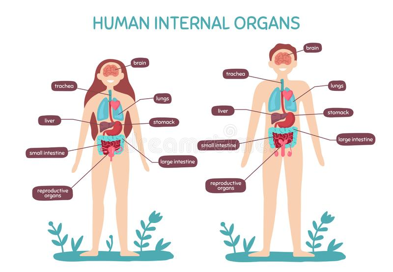 Anatomie de corps humain de bande dessinée Mâle et organes internes femelles, illustration de vecteur de diagramme de physiologie illustration de vecteur
