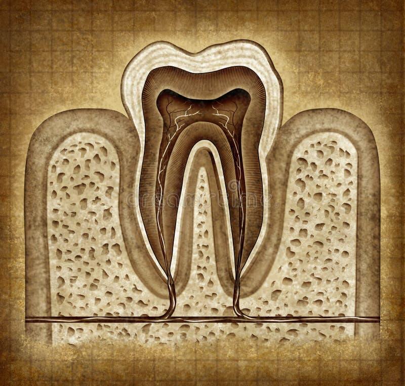 Anatomie de dent dans la texture grunge illustration libre de droits