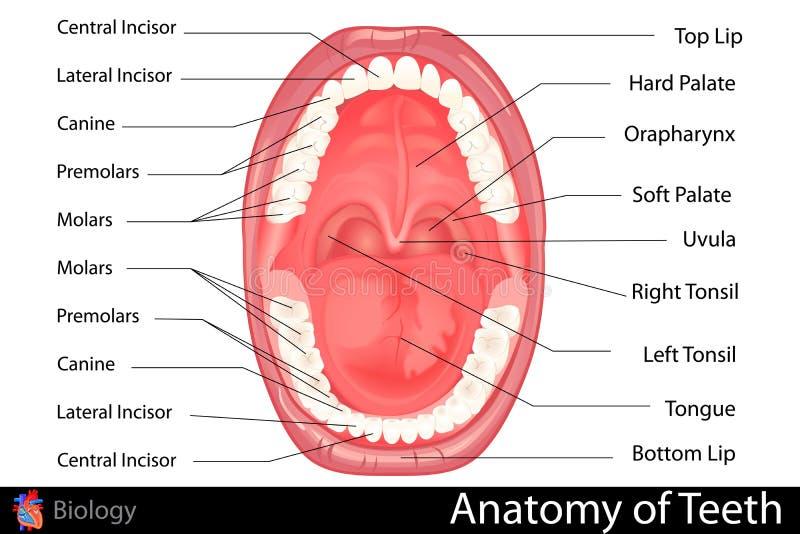 Anatomie de dentier humain illustration libre de droits