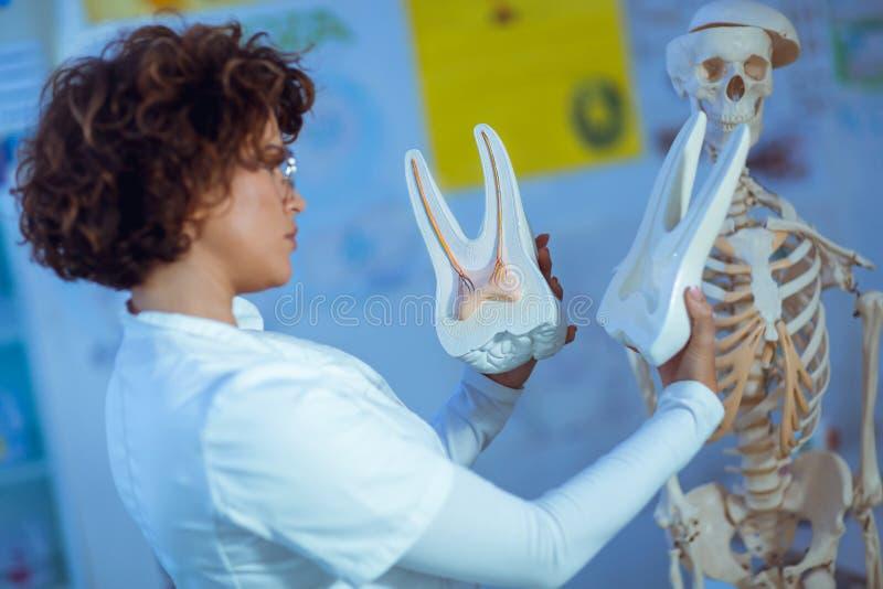 Anatomie de enseignement de femme de docteur utilisant le modèle de dent photo libre de droits