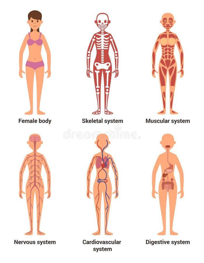 Anatomie de femelle Dirigez l'illustration des nerfs et les systèmes musculaires, le coeur et d'autres organes illustration stock
