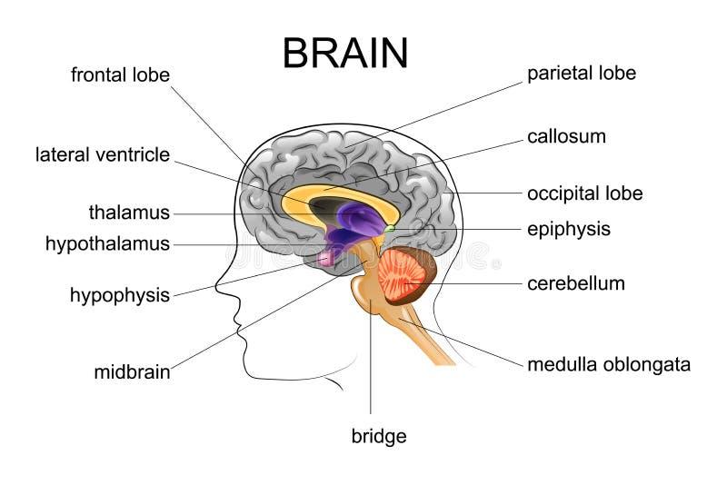 Anatomie de l'esprit humain illustration de vecteur