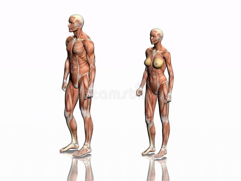 Anatomie de l'homme et de femme. illustration stock