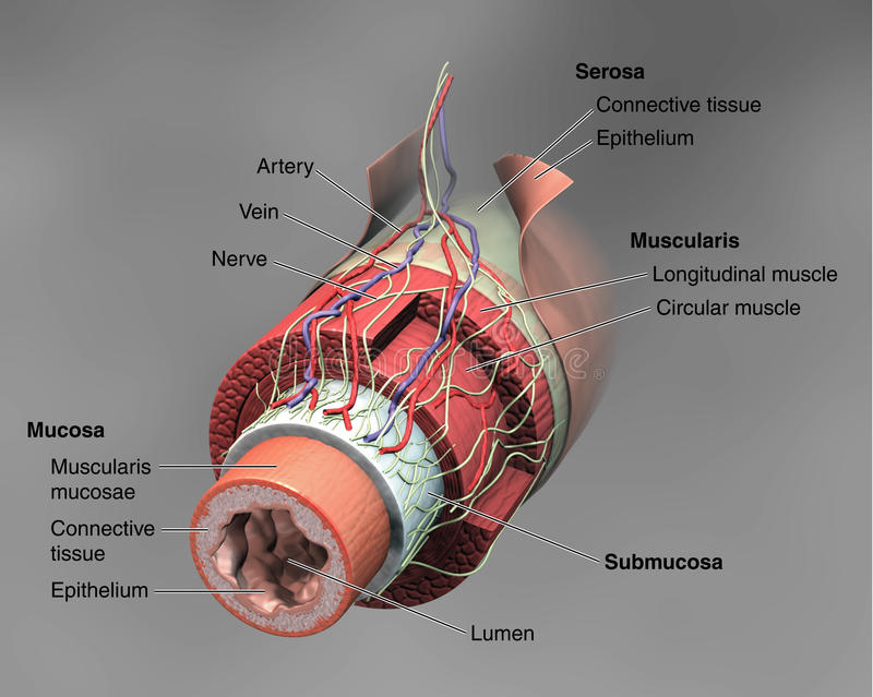Anatomie de l'intestin illustration de vecteur