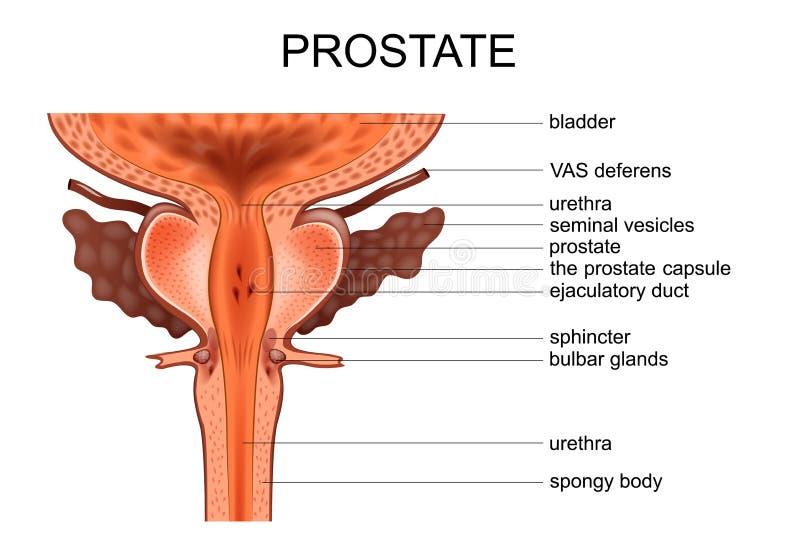 Anatomie de la prostate illustration libre de droits