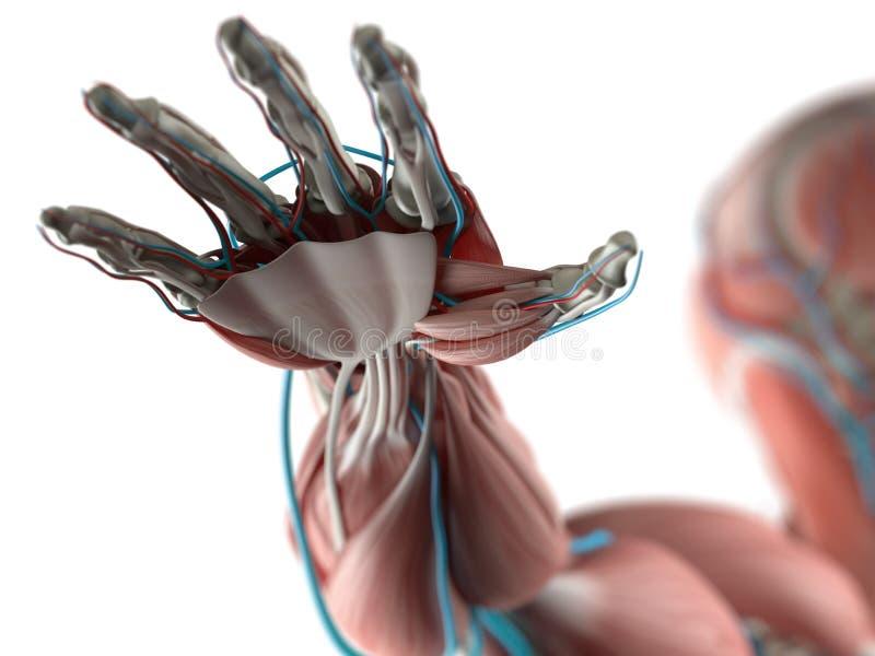Anatomie de main humaine illustration de vecteur