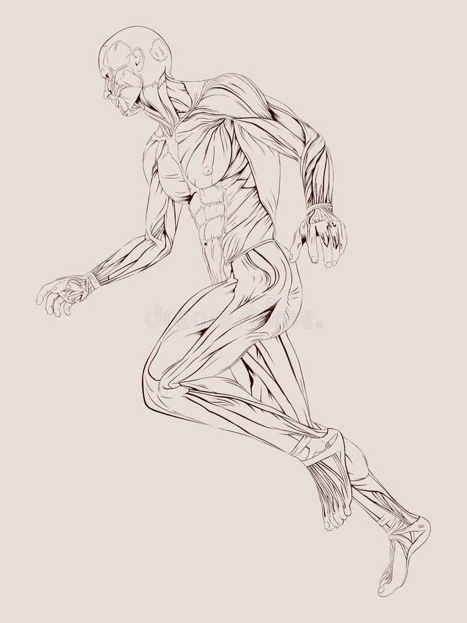 Anatomie de muscle illustration de vecteur