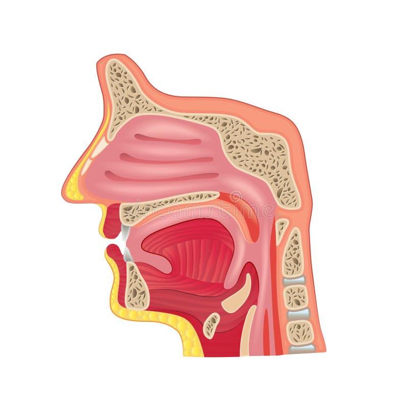 Anatomie de nez d'isolement sur le vecteur blanc illustration libre de droits