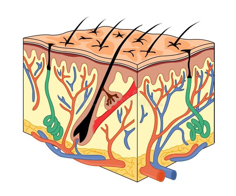 Anatomie de peau illustration de vecteur