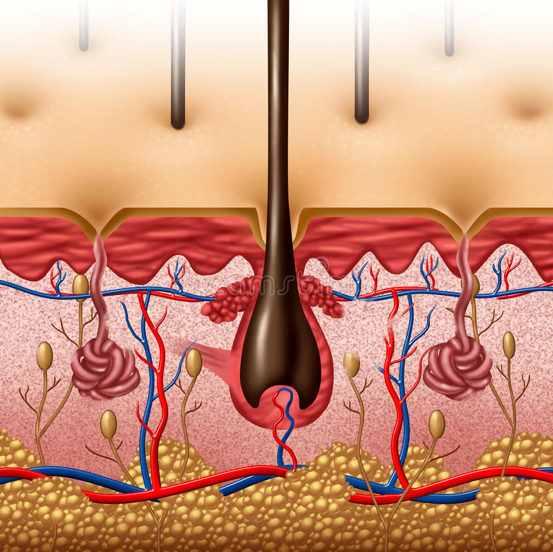 Anatomie de peau illustration stock