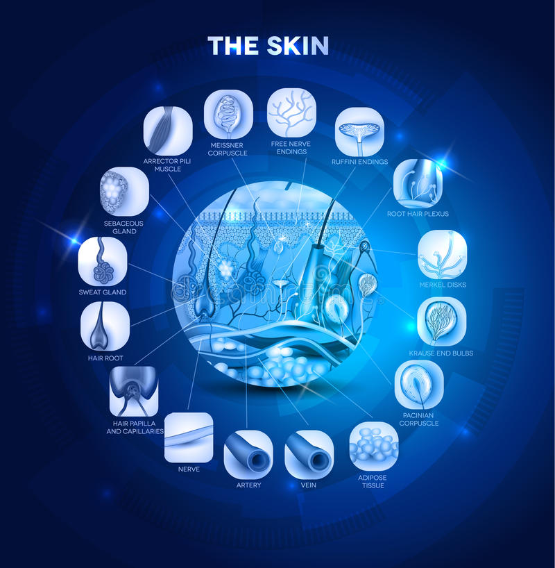 Anatomie de peau illustration libre de droits