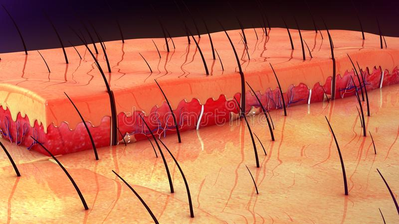 Anatomie de peau photographie stock