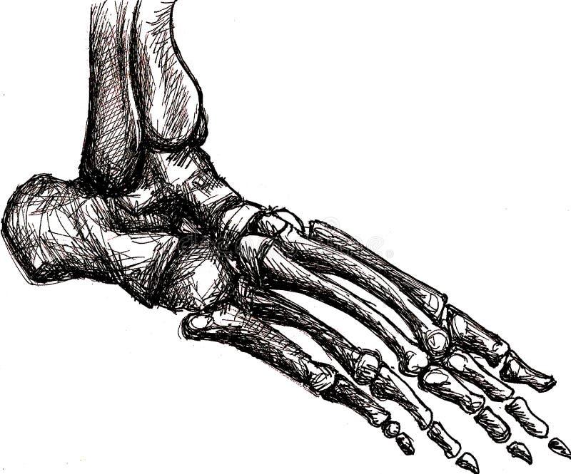 Anatomie de squelette de pied illustration libre de droits