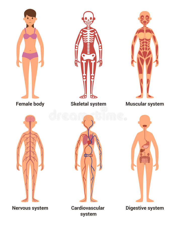 Anatomie der Frau Vector Illustration von Nerven und muskulöse Systeme, Herz und andere Organe stock abbildung