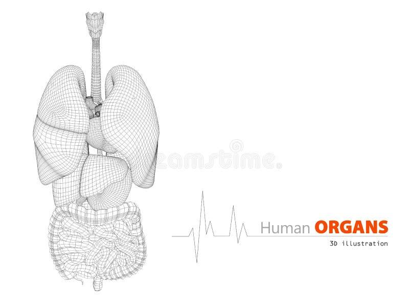 Wunderbar Zeigt Die Anatomie Des Menschlichen Körpers Bilder ...