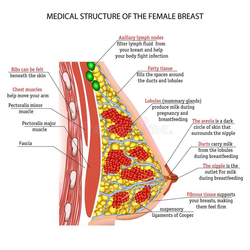Anatomie Der Weiblichen Brust Vektor Abbildung - Illustration von ...