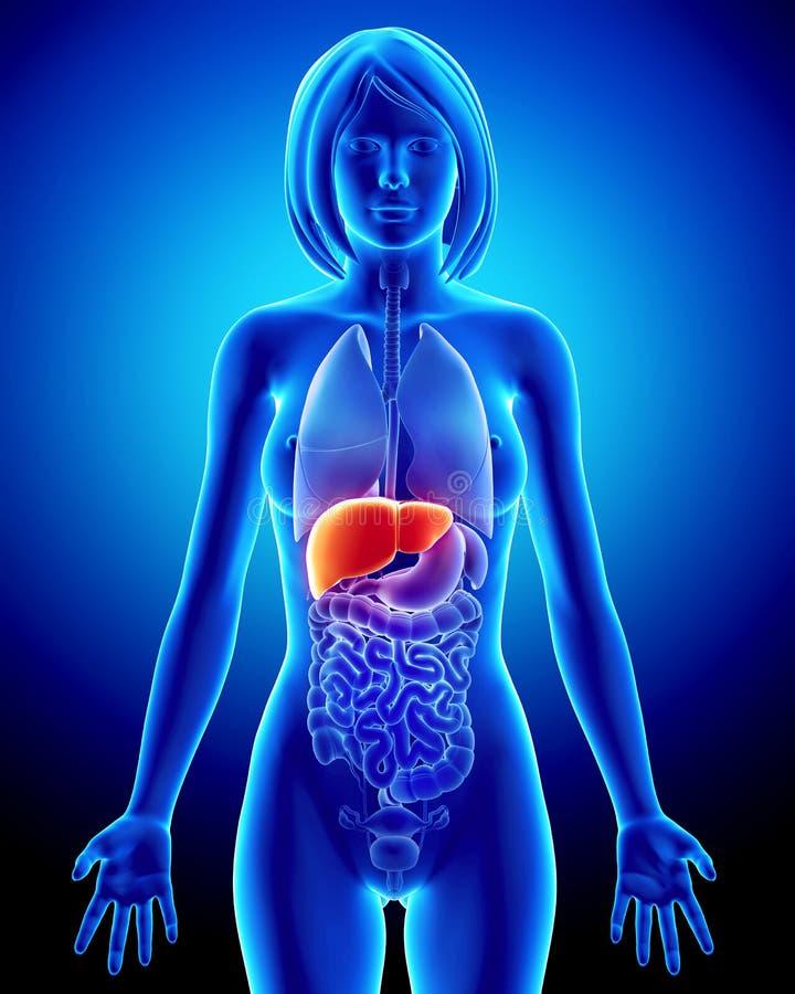 Anatomie der weiblichen Leber im blauen Röntgenstrahl stock abbildung