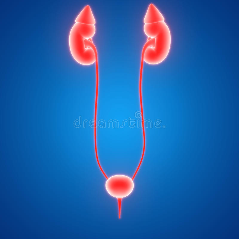 Anatomie Der Weiblicher Körper-Organ-(Nieren) Stock Abbildung ...