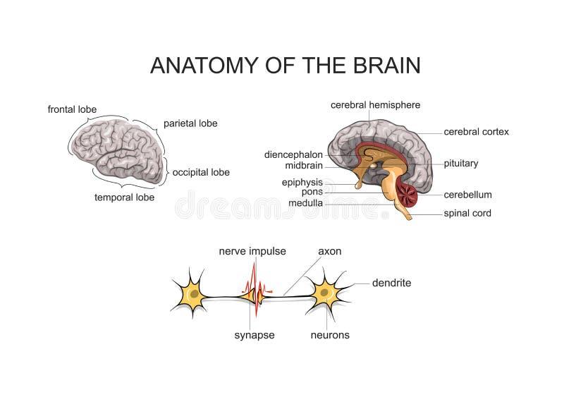 Anatomie des Gehirns vektor abbildung