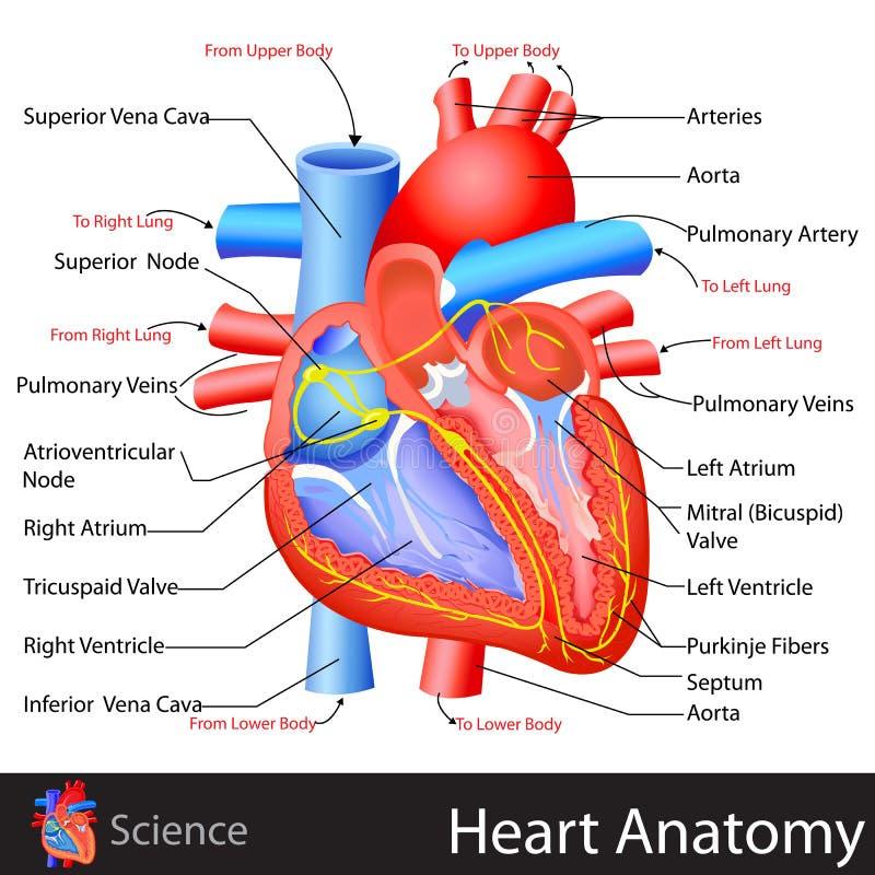 Anatomie des Herzens vektor abbildung. Illustration von anatomie ...