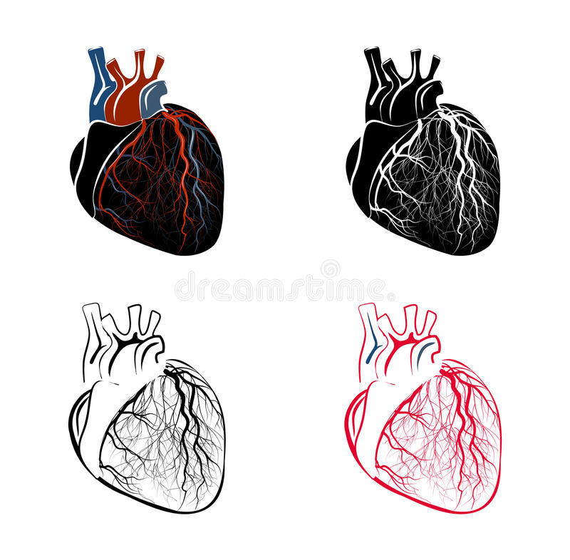 Anatomie des Herzens vektor abbildung. Illustration von medizin ...