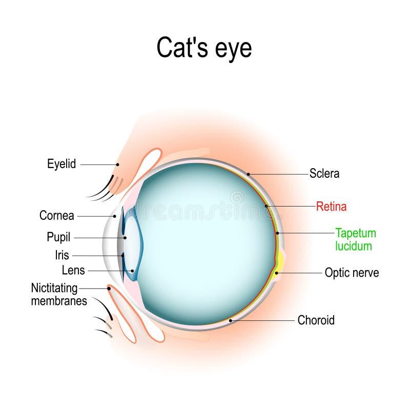 Anatomie des Katze ` s oder Hund-` s des Auges stock abbildung