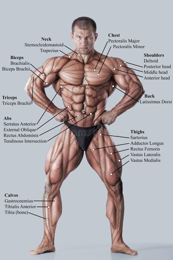 Anatomie des männlichen muskulösen Systems stockbild
