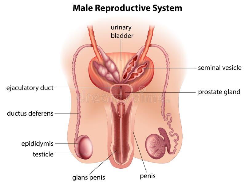 Anatomie des männlichen Reproduktionssystems lizenzfreie abbildung