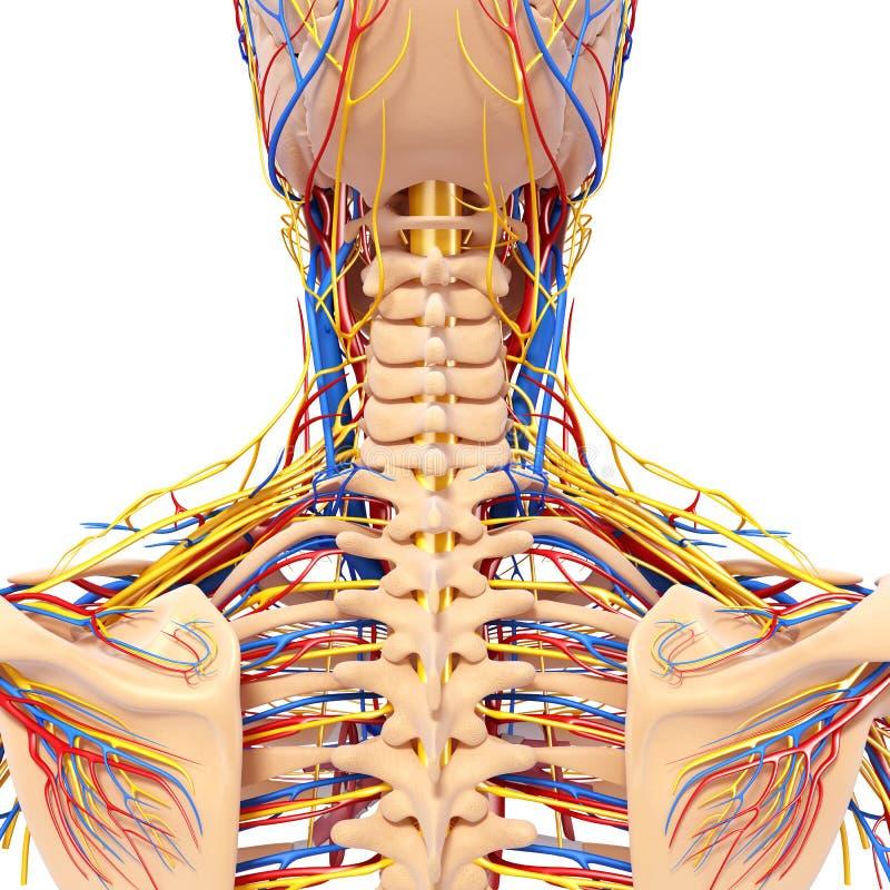 Anatomie Des Mannes Gehen Zurück Kreislaufsystem Der Ansicht Voran ...