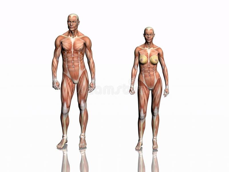 Anatomie des Mannes und der Frau. vektor abbildung