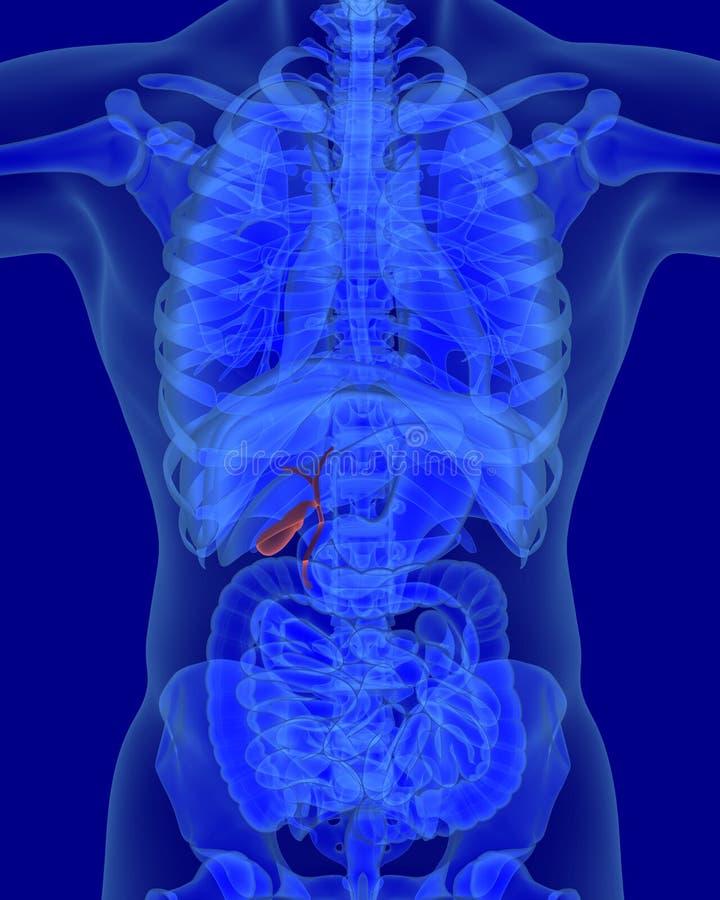 Ungewöhnlich Anatomie Und Physiologie Studie Hilfe Fotos ...