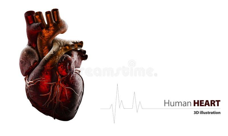 Anatomie des menschlichen Herzens lokalisiert auf Weiß lizenzfreie abbildung