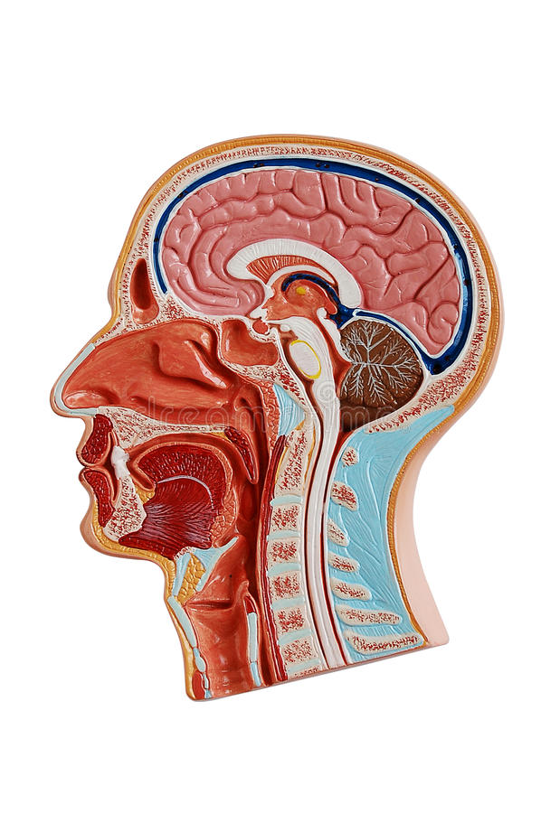 Anatomie Des Menschlichen Kopfes Stock Abbildung - Illustration von ...