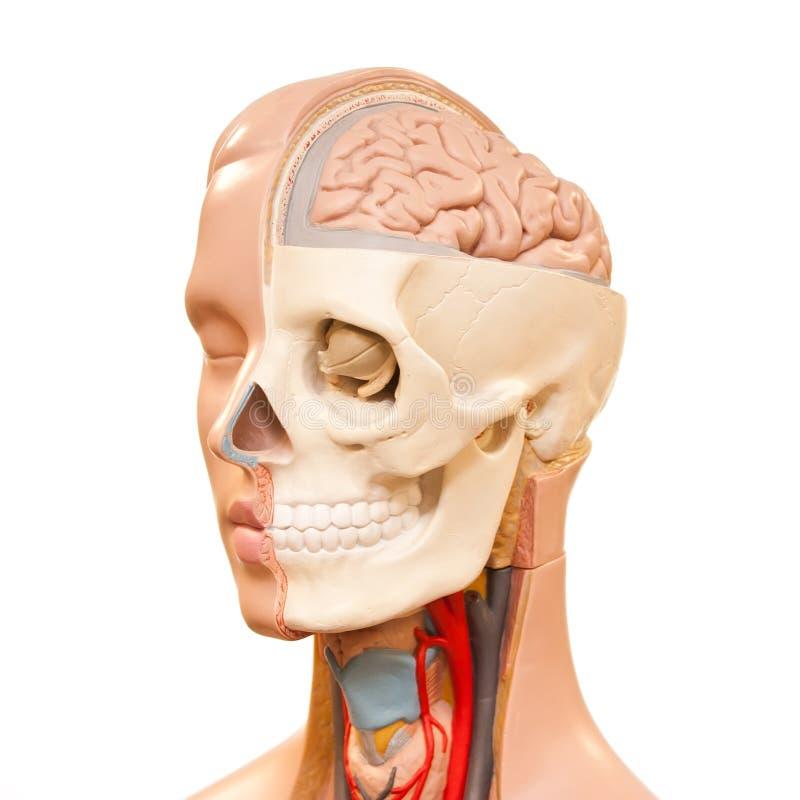 Anatomie Des Menschlichen Kopfes Stockbild - Bild von blut, schädel ...