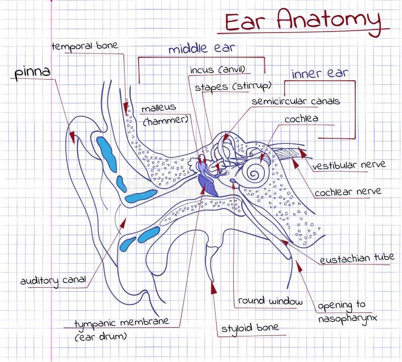 Anatomie des Ohrs vektor abbildung. Illustration von zeichen - 54953540