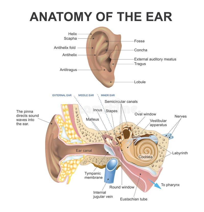 Anatomie des Ohrs vektor abbildung. Illustration von gehör - 76821730