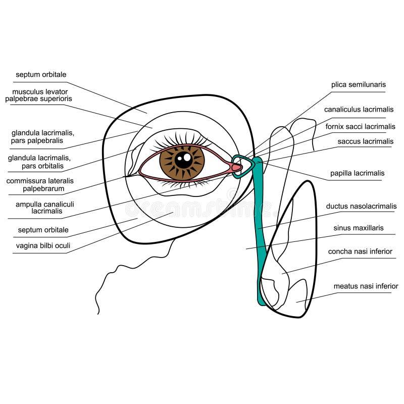Anatomie Des Tränenreichen Apparates Vektor Abbildung - Illustration ...