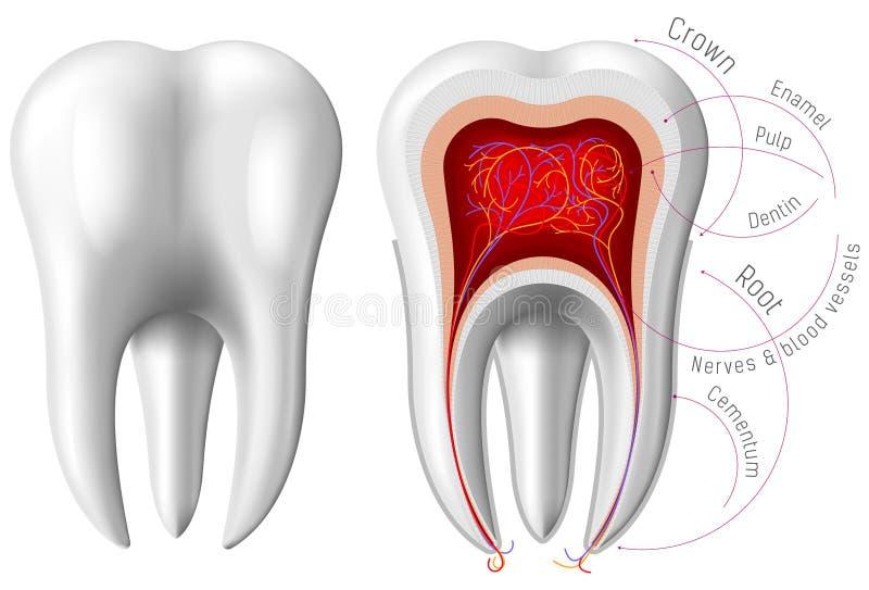 Anatomie des Zahnes stockfotografie