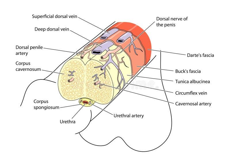 Anatomie du pénis illustration libre de droits