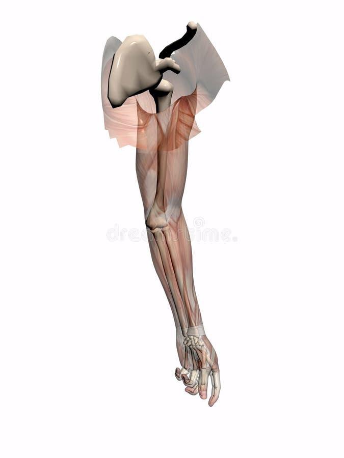 Anatomie een wapen transparant met skelet. stock illustratie