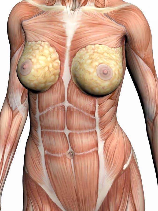 Anatomie einer Frau. stock abbildung. Illustration von frontseite ...