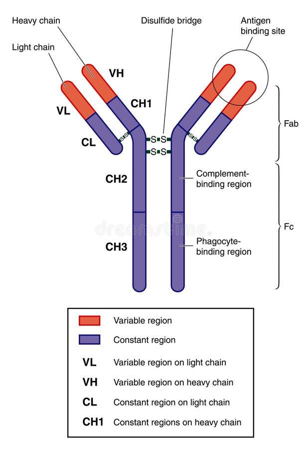 Anatomie eines Antikörpers vektor abbildung