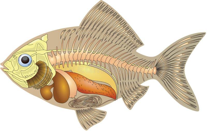 Anatomie eines Fisches lizenzfreie abbildung