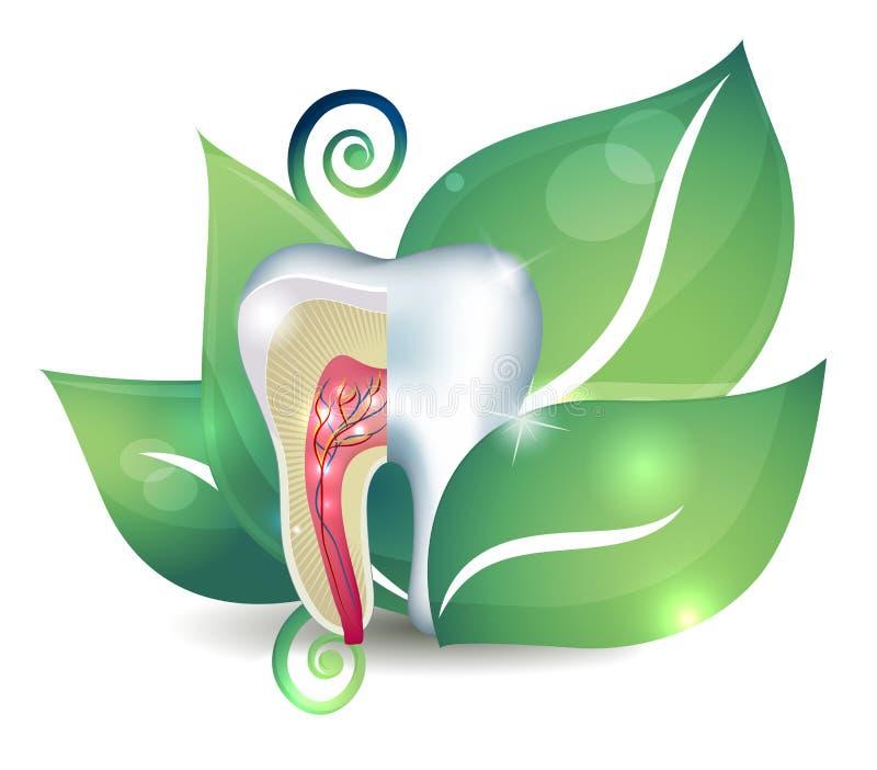 Anatomie et feuille de dent illustration stock