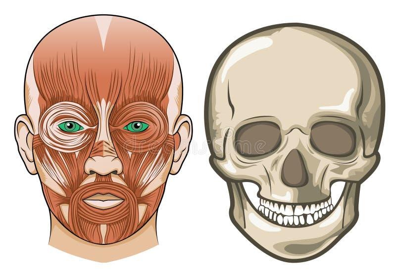 Anatomie faciale humaine et crâne dans le vecteur illustration de vecteur