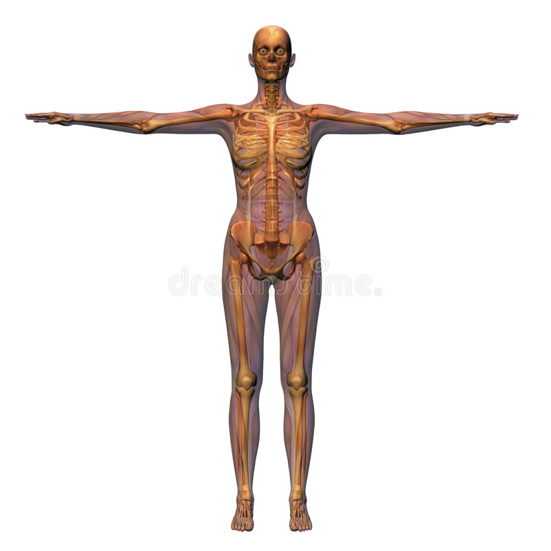 Anatomie femelle illustration stock